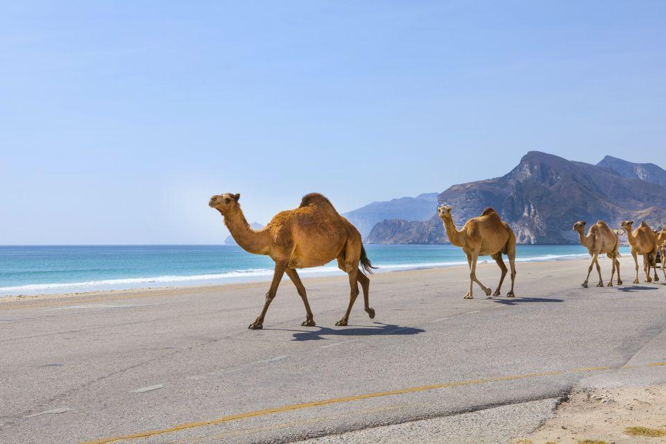 Les côtes, Dhofar, côte, oman, sultanat, moyen-orient, proche-orient, chameau, faune, animal, mammifère, arabie