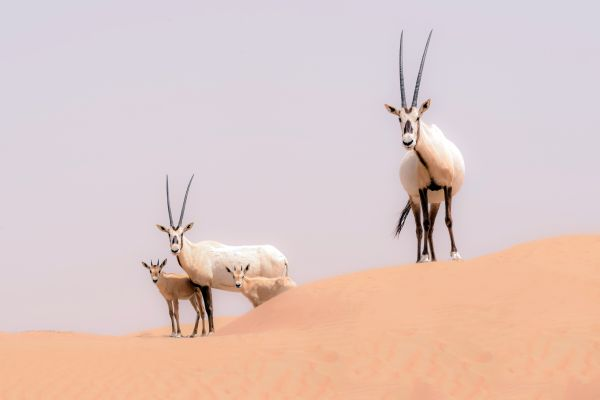 Oryxes, The oryx, The fauna and flora, Oman