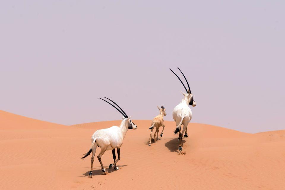 La faune et la flore, Oryx, animal, désert, faune, mammifère, arabie, oman, proche-orient, moyen-orient