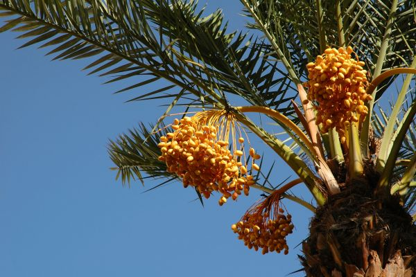 Date palm trees, The fauna and flora, Oman