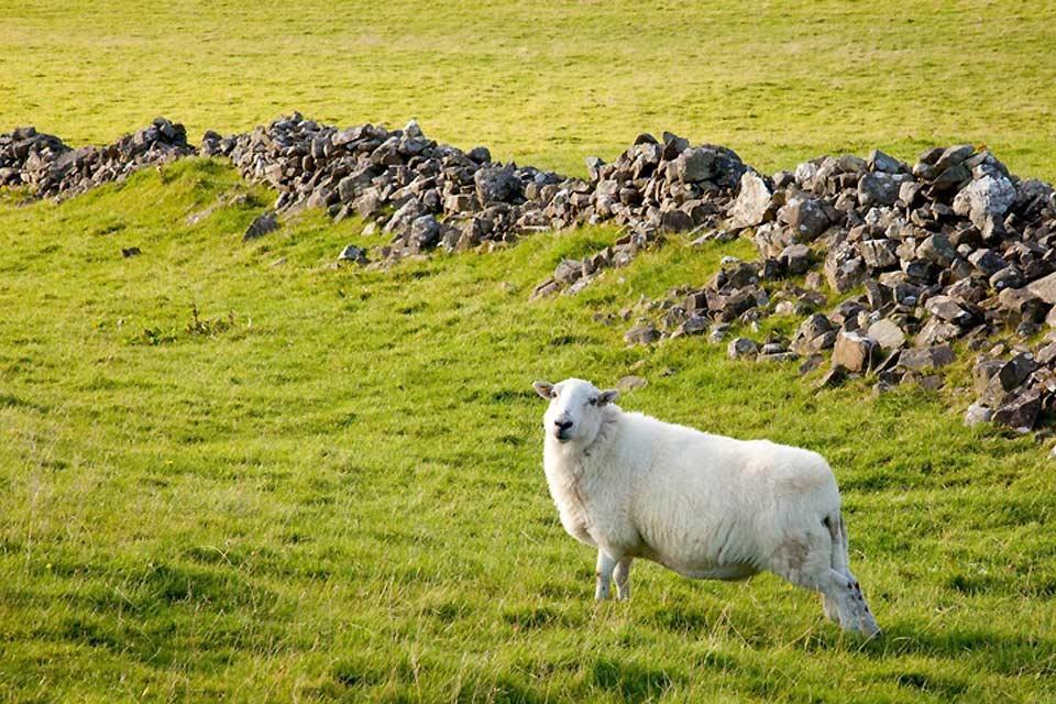 Il Wild Wales , pecora nel Galles , Regno Unito