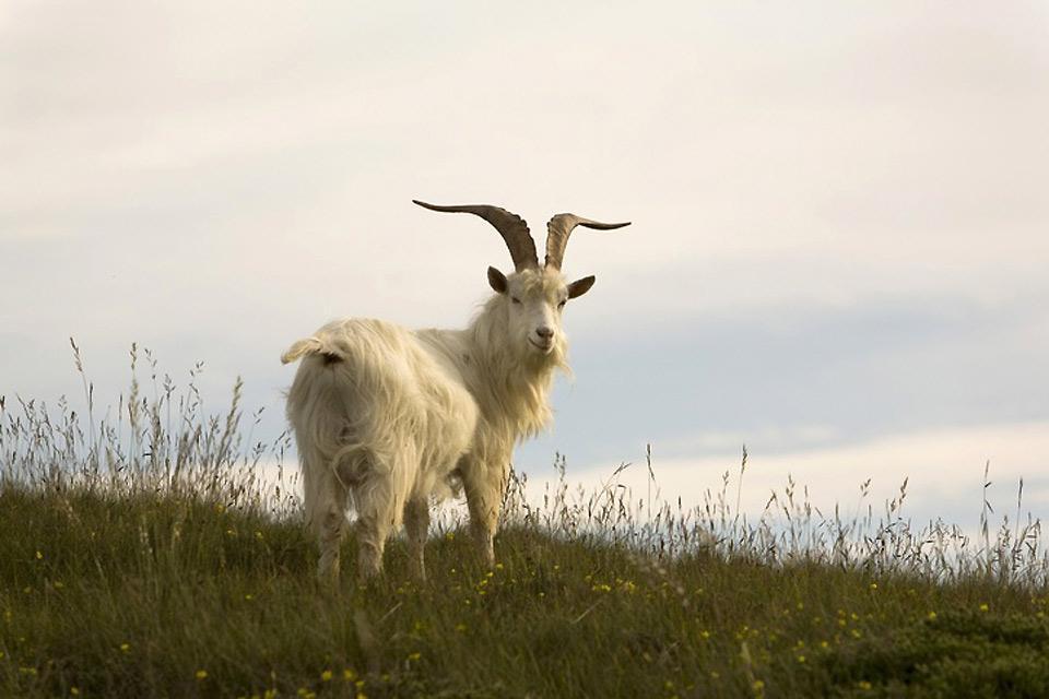 Il Wild Wales , pecora kashmir in libertà a Llandudno , Regno Unito