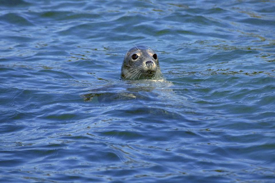 Die Westküste , Ein graues Seehundweibchen in Pembrokeshire , Großbritannien