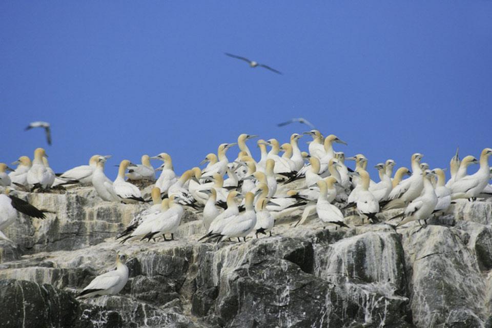 Gli uccelli , Sula, Grassholm, Pembrokeshire , Regno Unito