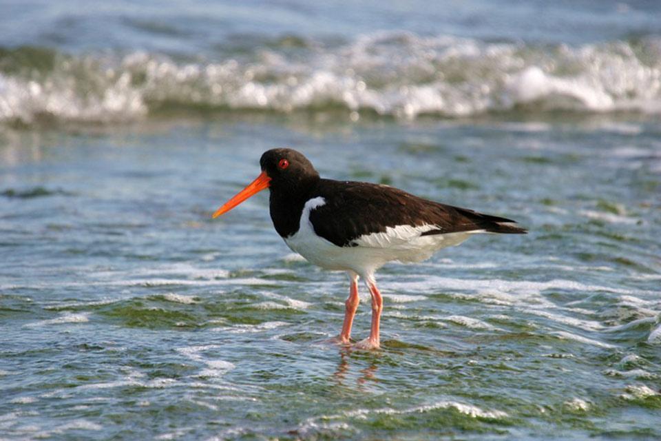 Gli uccelli , Beccaccia di mare che cerca il suo pasto , Regno Unito