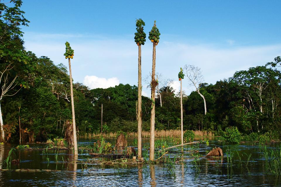 La jungle amazonienne , Grenouille jaune , Pérou
