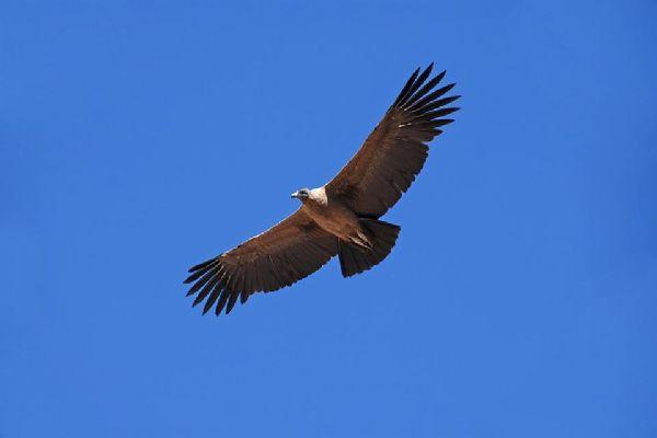 Le condor , Le Condor des Andes, Pérou , Pérou