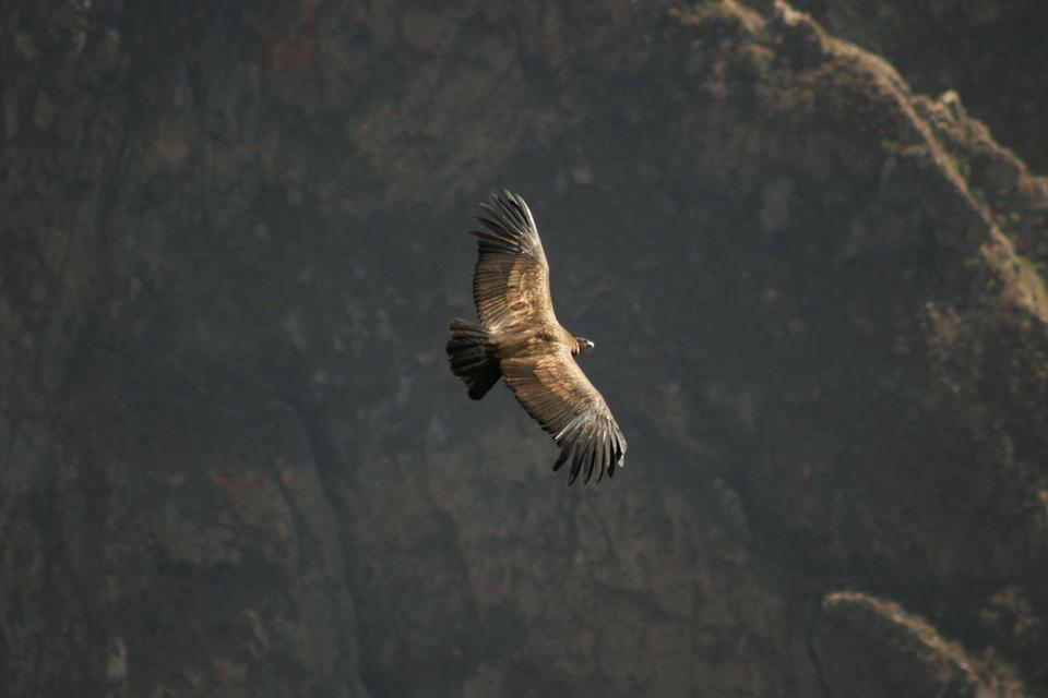 The Condor , Peru