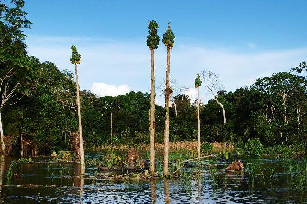 La végétation amazonienne , L'Amazonie péruvienne , Pérou