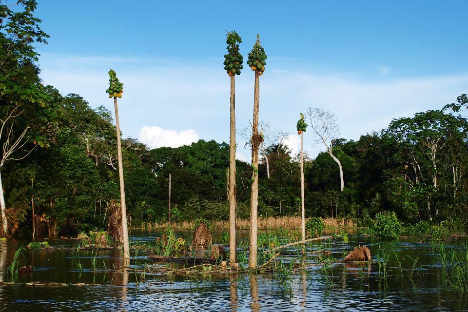 La vegetazione amazzonica , L'Amazzonia, Perù , Perù