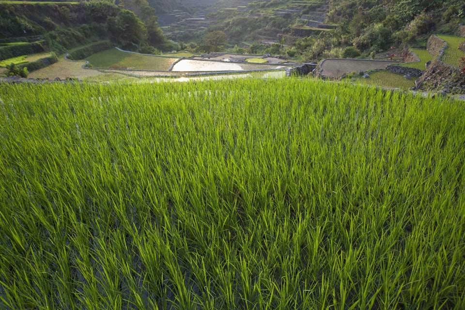 Le risaie di Banaue (Luzon) , L'alimentazione delle risaie , Filippine