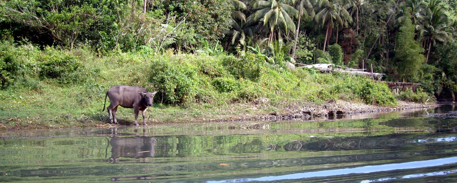 Les paysages, buffle, animal, faune, bovin, bétail, mammifère, philippines, rivière, Pagsanjan, Asie