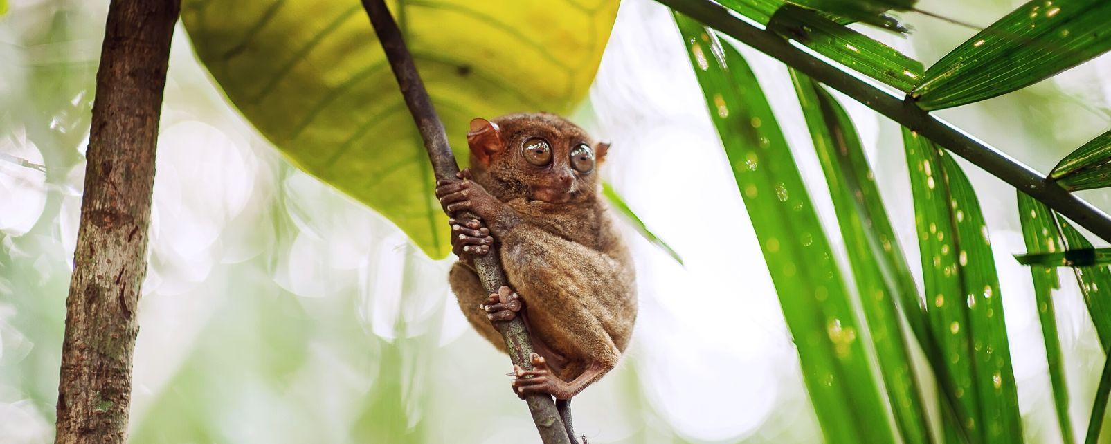 La faune et la flore, tarsier, primate, animal, faune, mammifère, asie, philippines, foret, Sarangani, mindanao