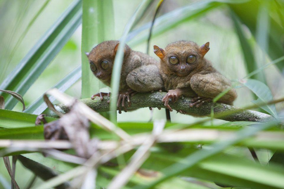 La durata di vita, Il Tarsio, La fauna e la flora, Filippine