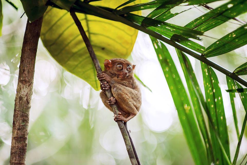 Il tarsio, Il Tarsio, La fauna e la flora, Filippine