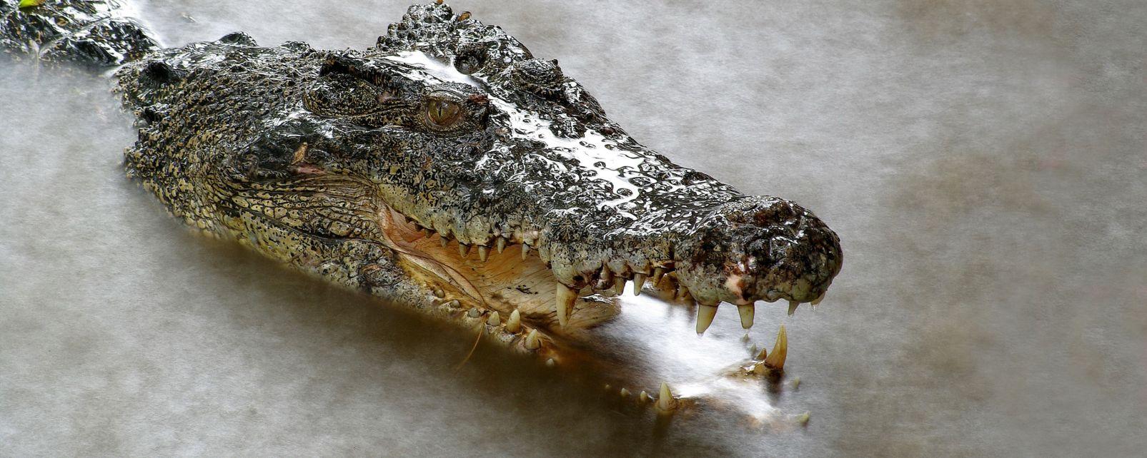 La faune et la flore, crocodile, philippines, asie, reptile, faune, animal, Agusan Marsh, marécage, marais, rivière