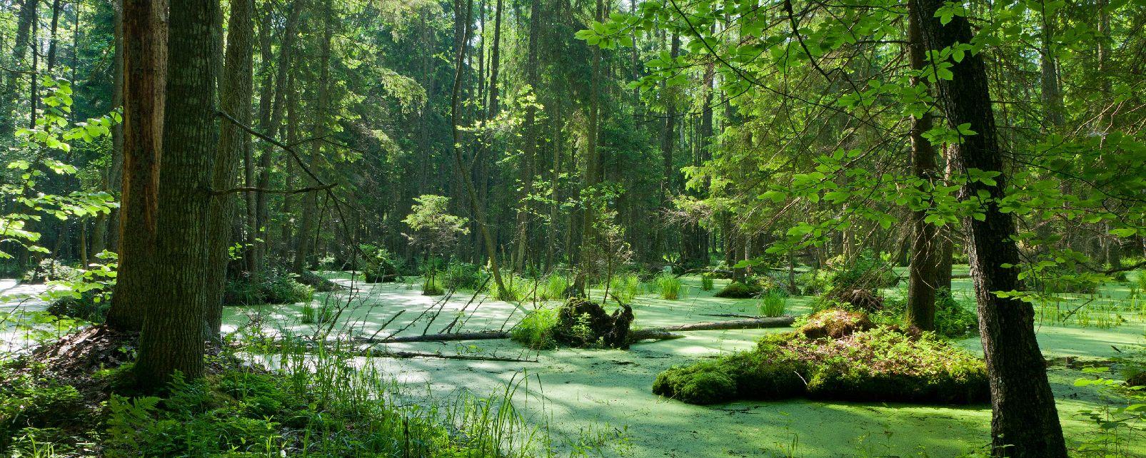 El Bosque de Białowieża en Polonia, el último bosque virgen de Europa 3952