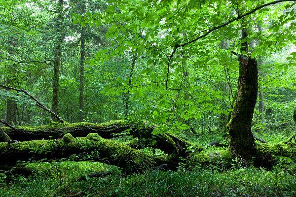 Der Wald von Bialowieza , Polen