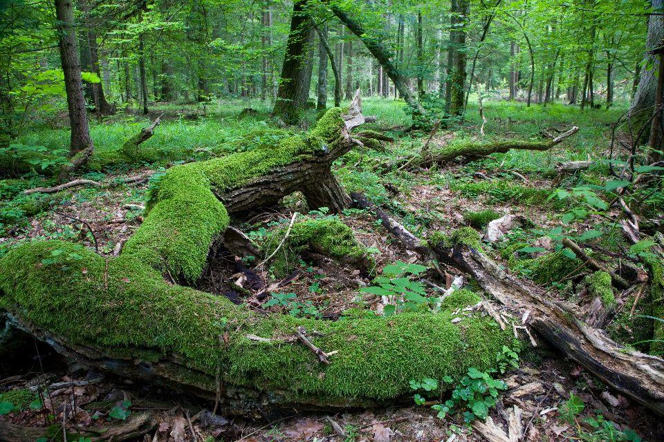 La forêt de Bialowieza , Pologne