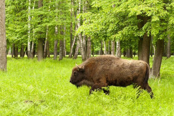 Le specie in via di estinzione , Polonia