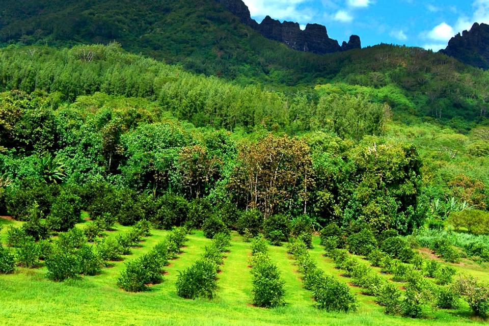 Moorea , Le piantagioni , Polinesia francese