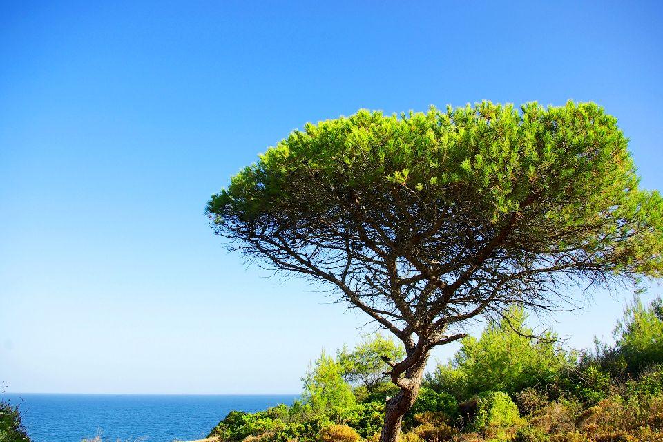 La flora dell'Algarve , Un albero sferzato dal vento , Portogallo