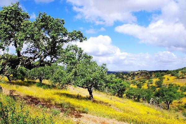 La quercia da sughero , Tronchi di un rosso profondo , Portogallo