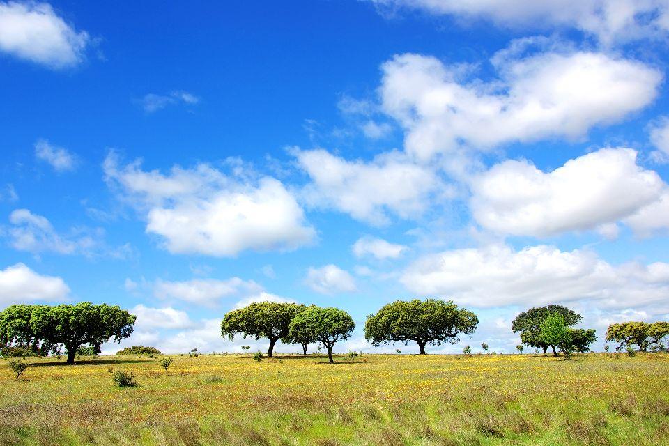 La quercia da sughero , Una quercia da sughero , Portogallo