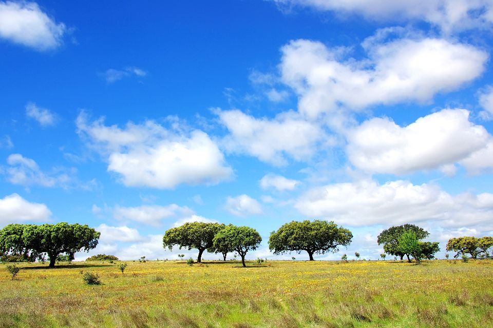 Cork oak , Cork Oak , Portugal