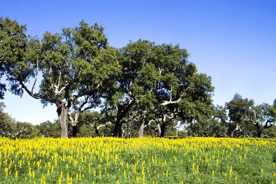 La quercia da sughero , Ancora delle querce , Portogallo