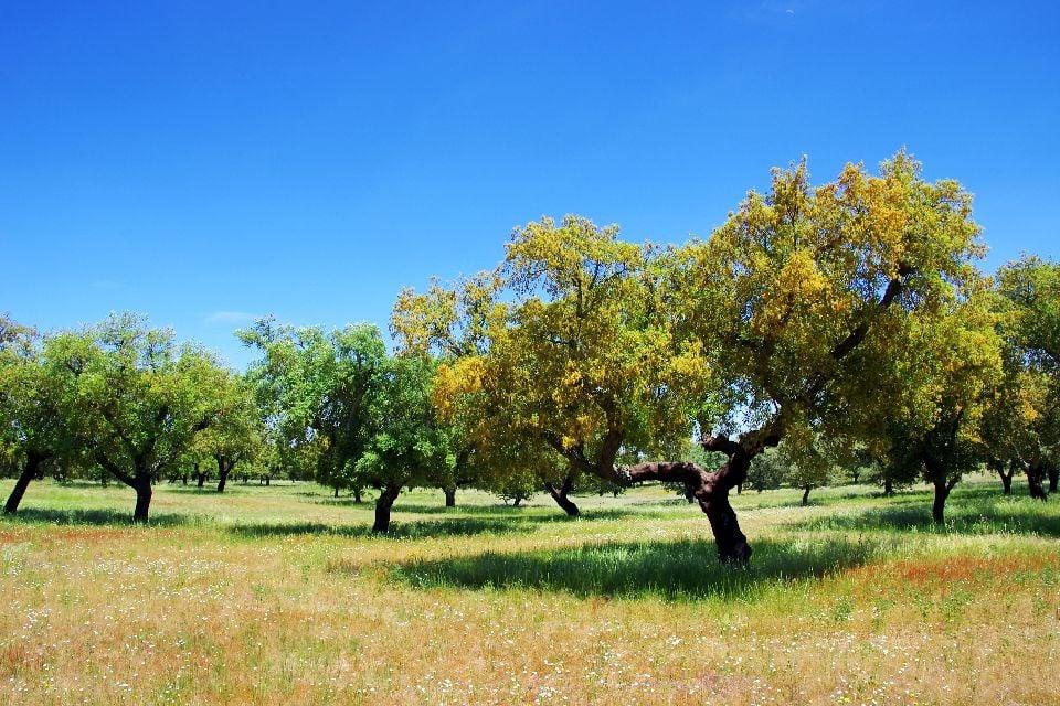 Cork oak , Portugal