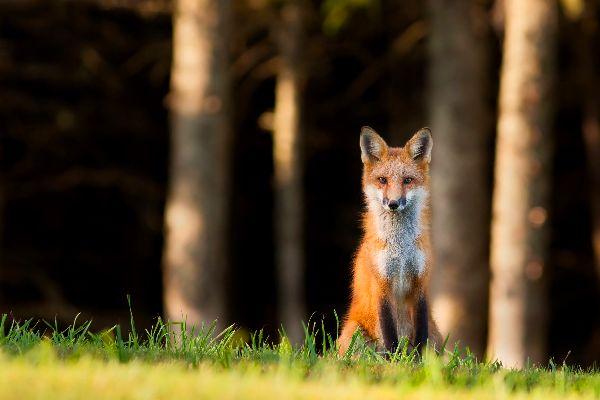 La faune , Renard roux, Trás-os-Mont, Portugal , Portugal
