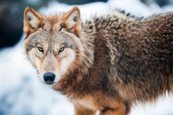 La faune , Loup,Trás-os-Montes, Portugal , Portugal