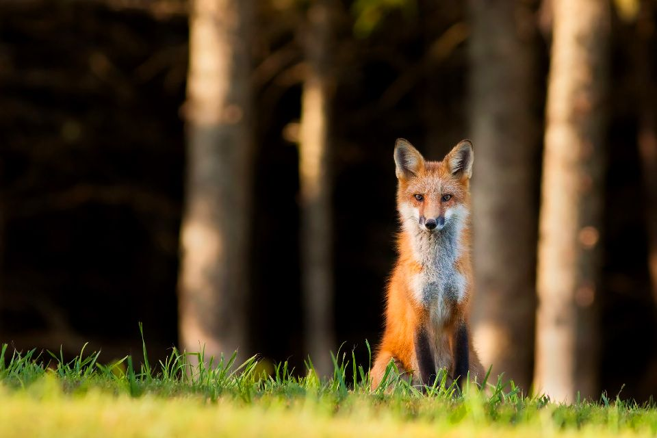 La fauna , Zorro rojo, Trás-os-Montes, Portugal , Portugal