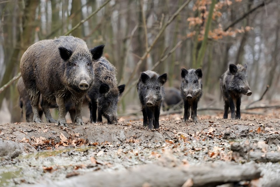 Boar, Penada-Gerês National Park, Portugal, Fauna, The fauna and flora, Northern and central Portugal
