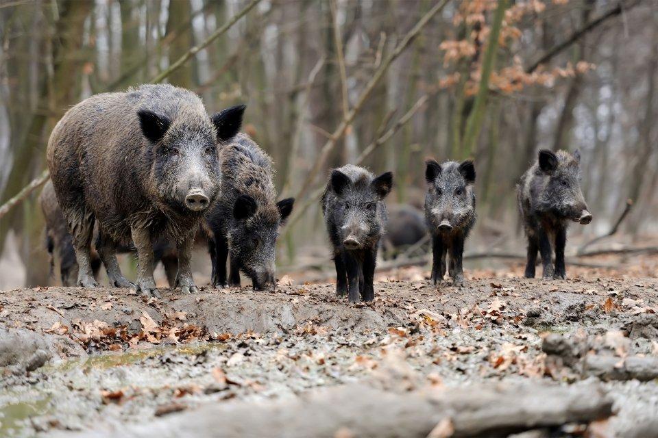 La fauna , Cinghiale, parco nazionale di Penada-Gerês , Portogallo