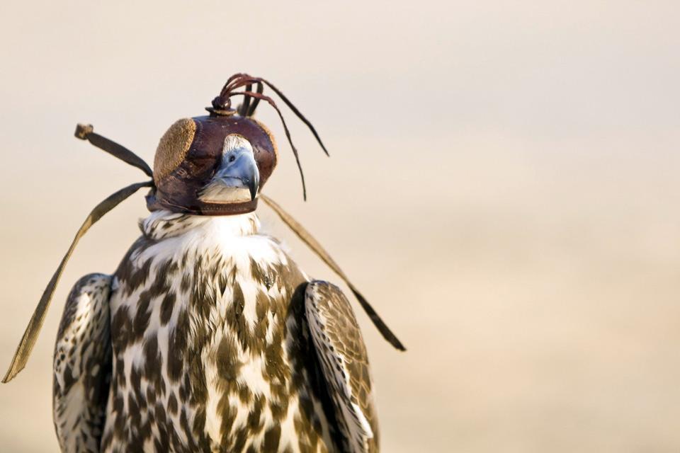 La chasse au faucon , Qatar
