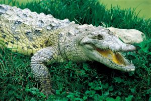 The American alligator, Wildlife on land, The fauna and flora, Dominican Republic