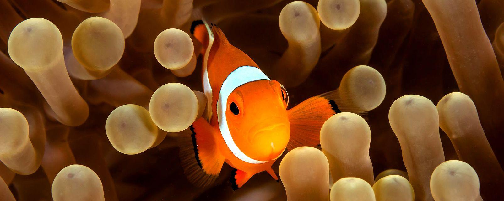 Il pesce pagliaccio, La fauna marina, La fauna e la flora, Repubblica Dominicana