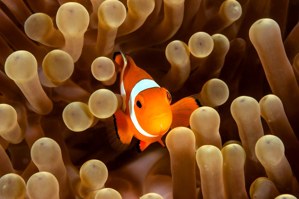 Clownfish, Marine life, The fauna and flora, Dominican Republic