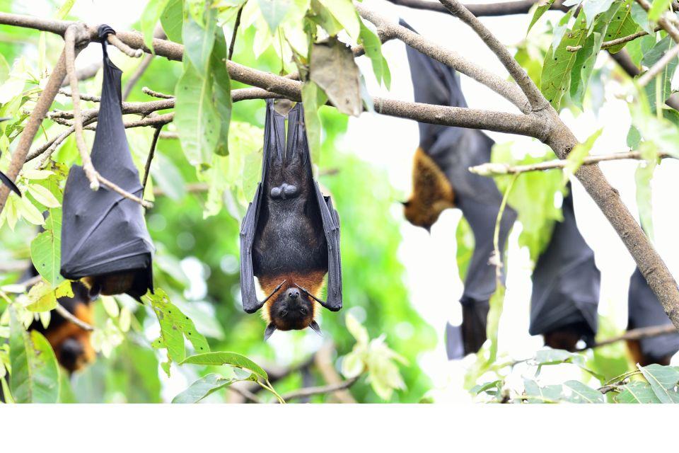 Les chauves-souris, La faune terrestre, La faune et la flore, Réunion