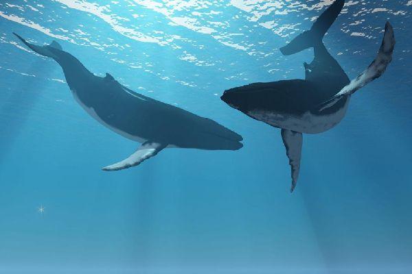 La fauna marine , Las ballenas de La Reunión , Reunión