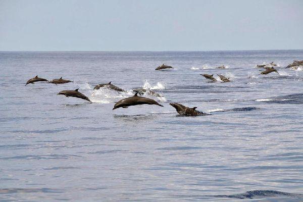La fauna marine , Los delfines de La Reunión , Reunión