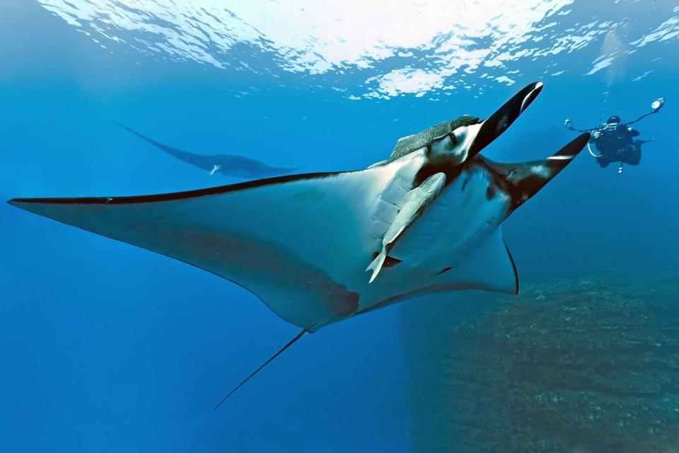 La faune marine , Raies , Réunion
