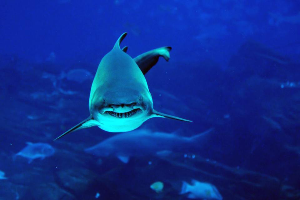 La faune marine , Le requin tigre , Réunion