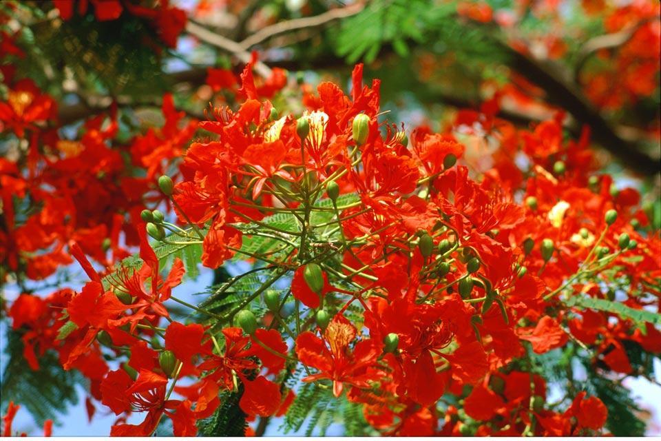 La flore , Les flamboyants réunionnais , Réunion