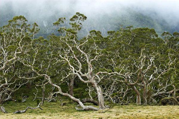 """La vegetación endémica de los """"Hauts"""" , Tasa de endemismo en la Reunión , Reunión"""