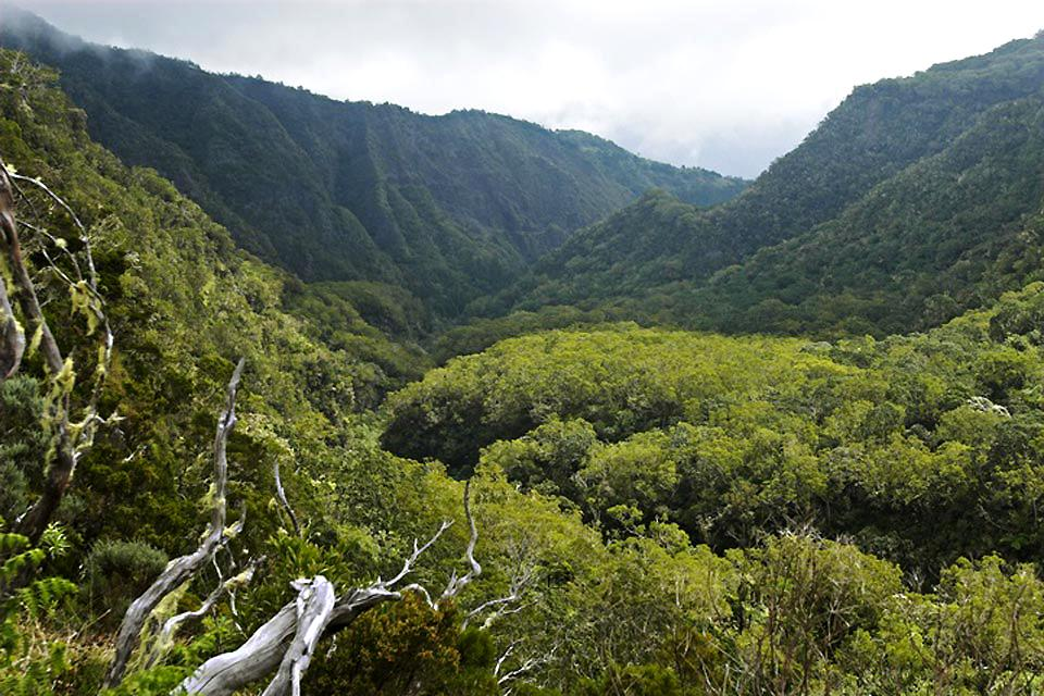 Die endemische Vegetation der Hochebenen ?Hauts? , Acacia heterophylla , Réunion