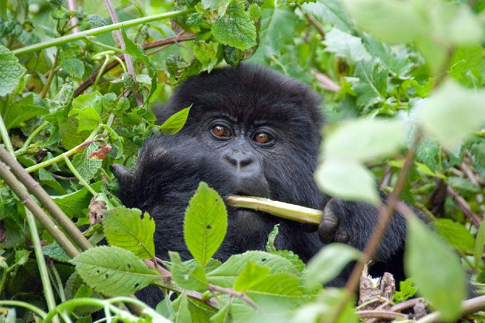 Le Parc national des Volcans , Rwanda