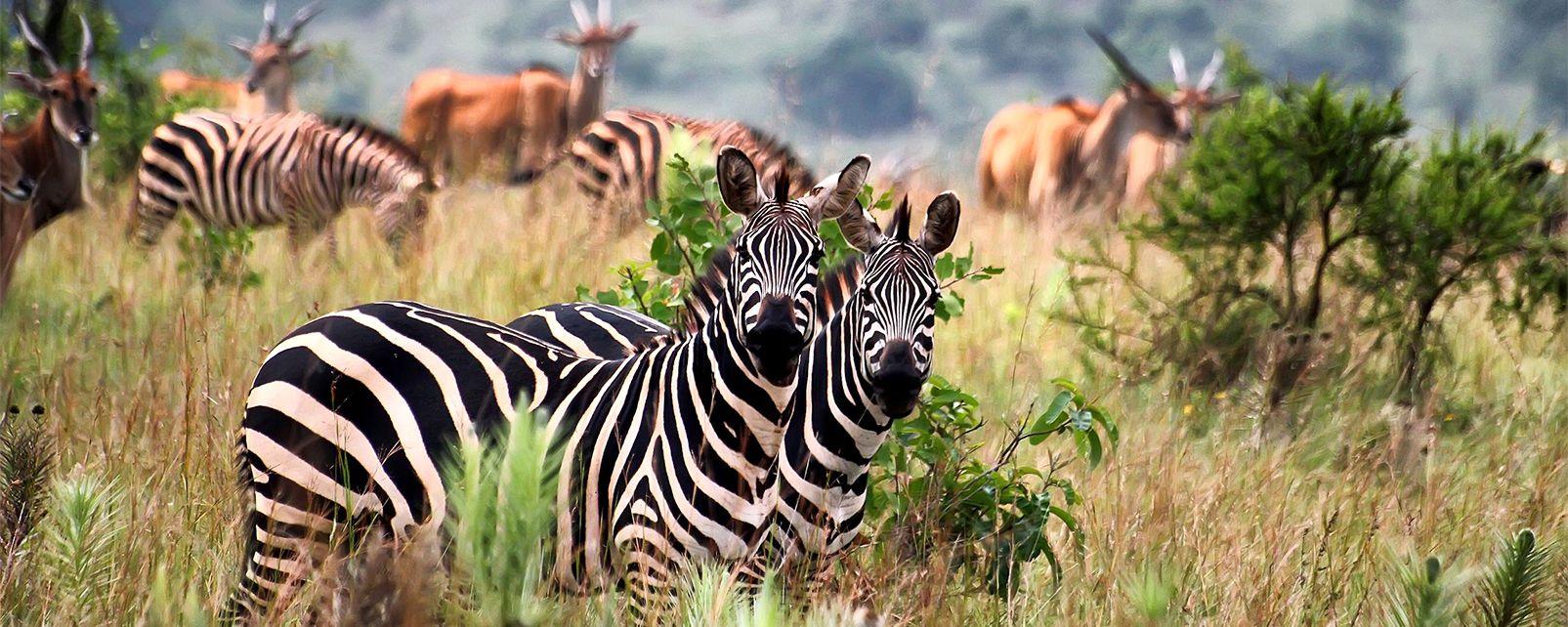 Le Parc national de l'Akagera , Rwanda